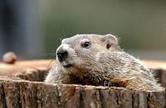 groundhog-gravy