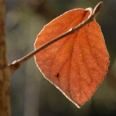 leaf study by Jim Peppler