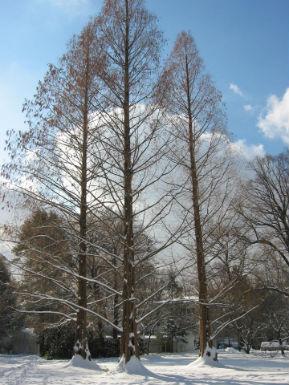 COW-Redwoods-in-Winter-289x385