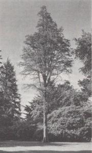 Bald Cypress (c) 1969 Wurtz Brothers
